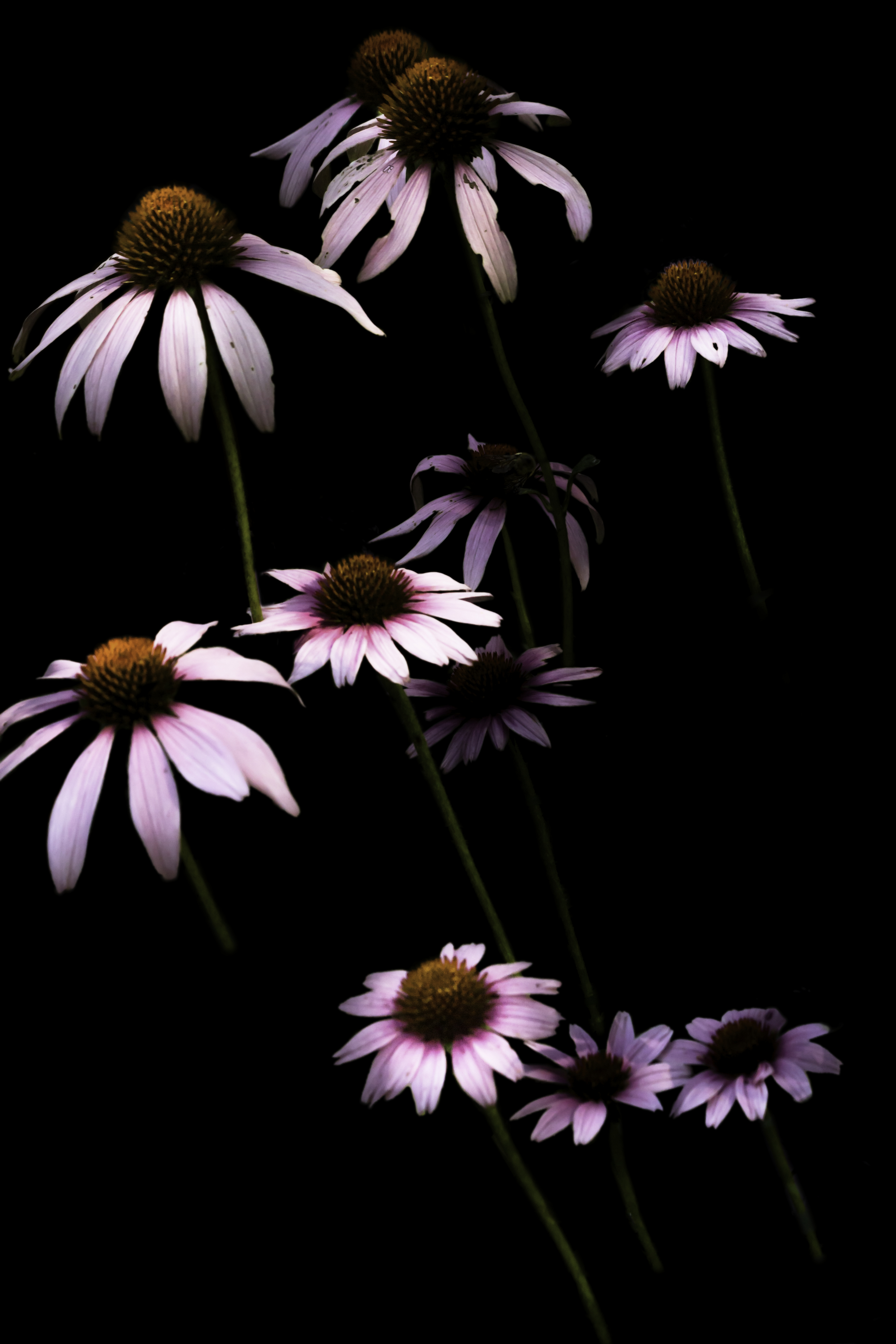 120817 download wallpaper Flowers, Chamomile, Camomile, Petals, Flower screensavers and pictures for free