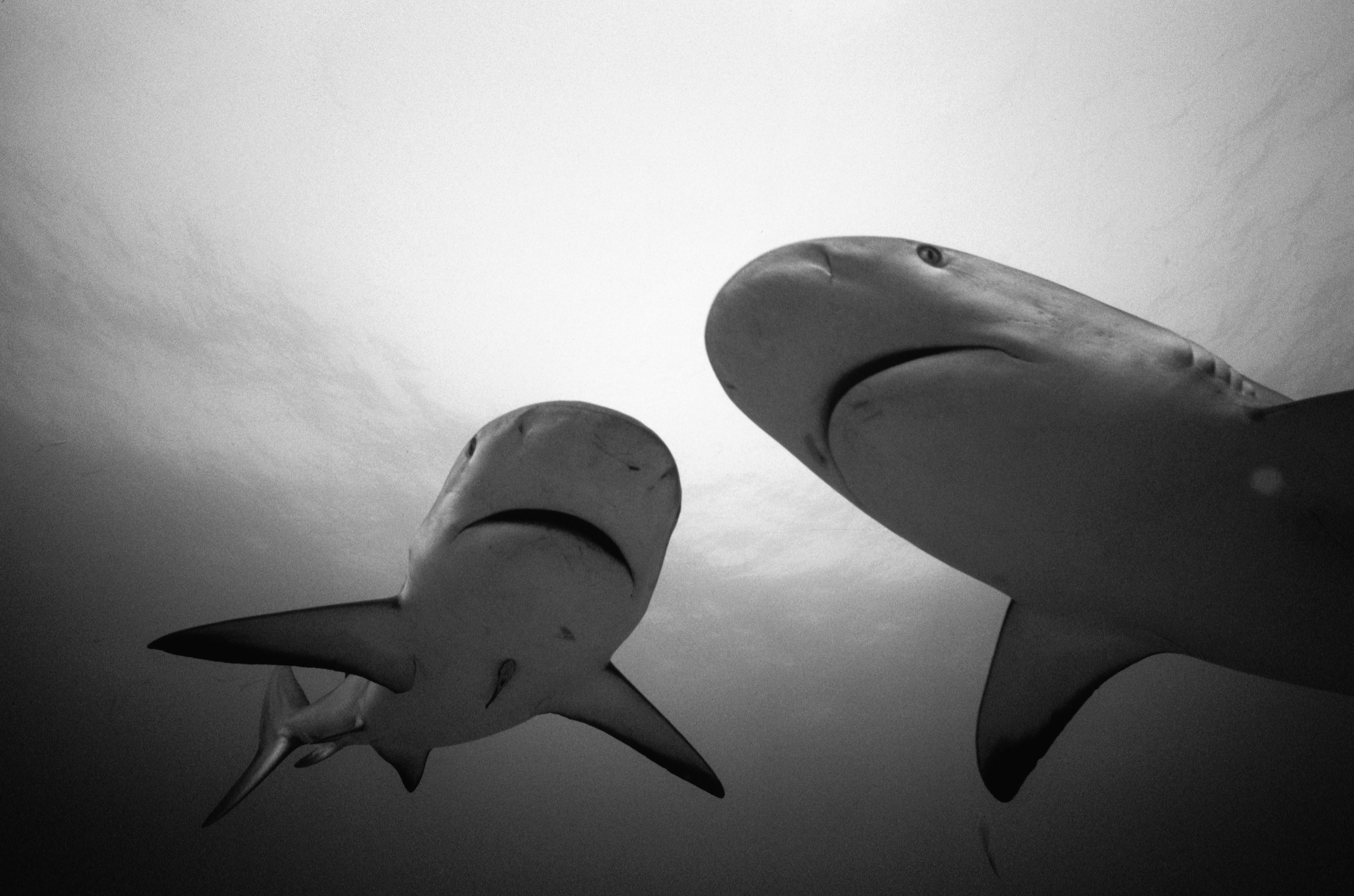152217 download wallpaper Animals, Couple, Pair, Water, Bw, Chb, Sharks screensavers and pictures for free