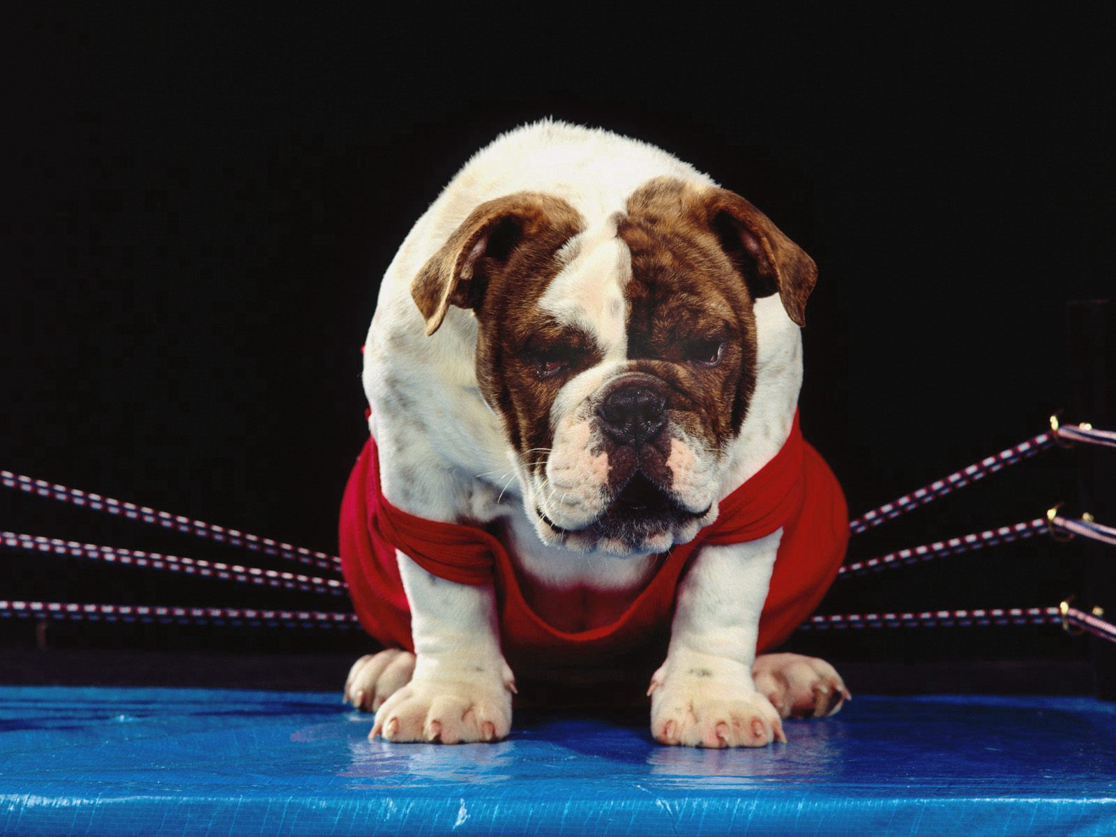 138718 download wallpaper Animals, Dog, Boxing Ring, Ring, Boxer, Bulldog screensavers and pictures for free