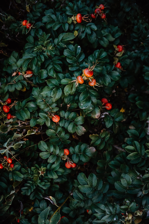 124318 скачать обои Листья, Ягоды, Шиповник, Растение, Макро, Куст - заставки и картинки бесплатно