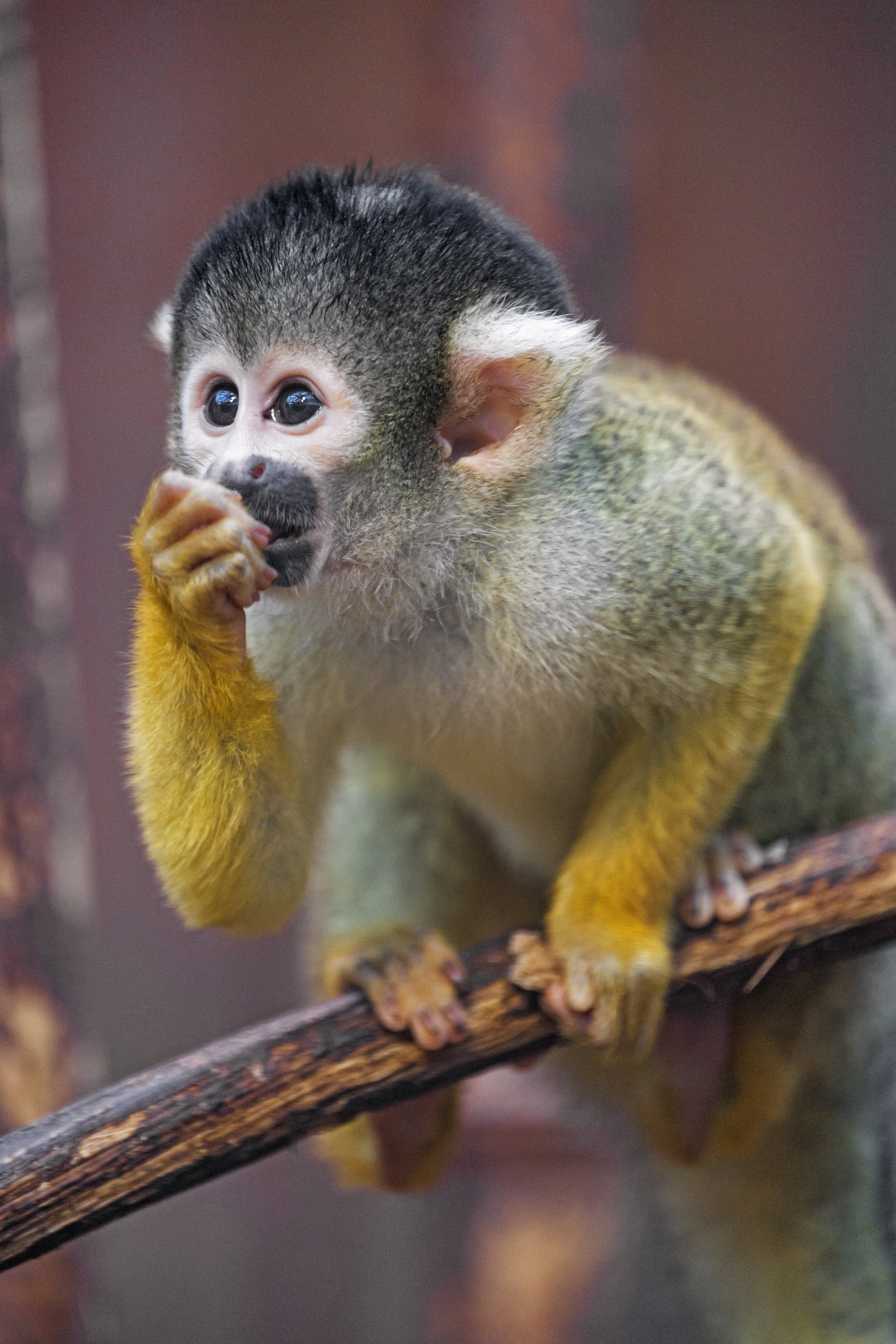 51861 download wallpaper Animals, Monkey, Marmoset, Young, Joey, Nice, Sweetheart, Sight, Opinion screensavers and pictures for free