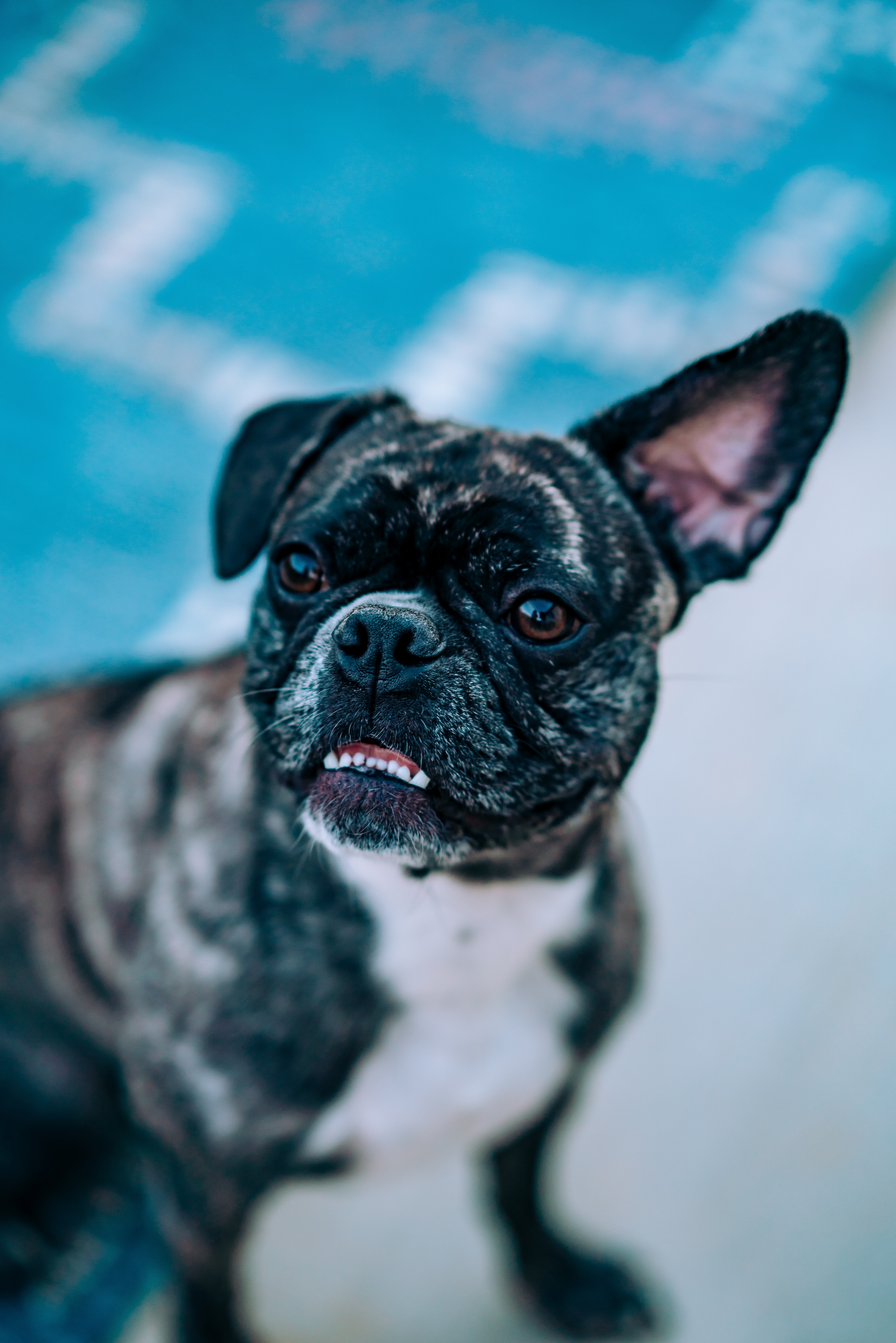 78665 download wallpaper Animals, Bulldog, Dog, Funny, Pet screensavers and pictures for free
