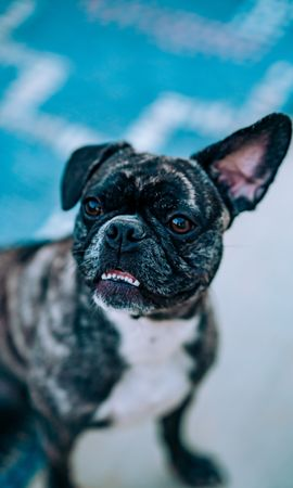 78665 Screensavers and Wallpapers Funny for phone. Download Animals, Bulldog, Dog, Funny, Pet pictures for free