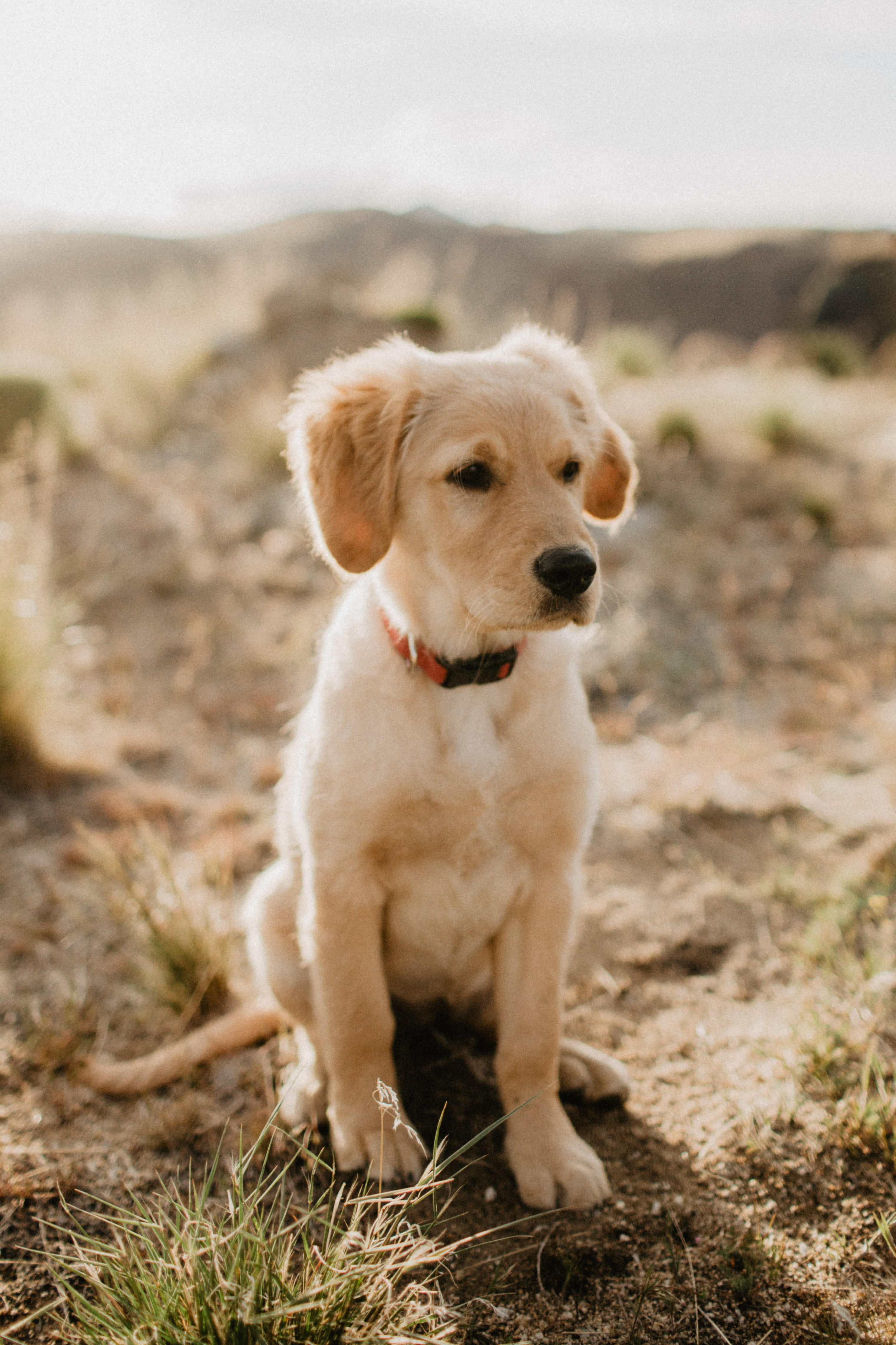 67551 download wallpaper Dog, Animals, Puppy, Retriever, Golden Retriever screensavers and pictures for free