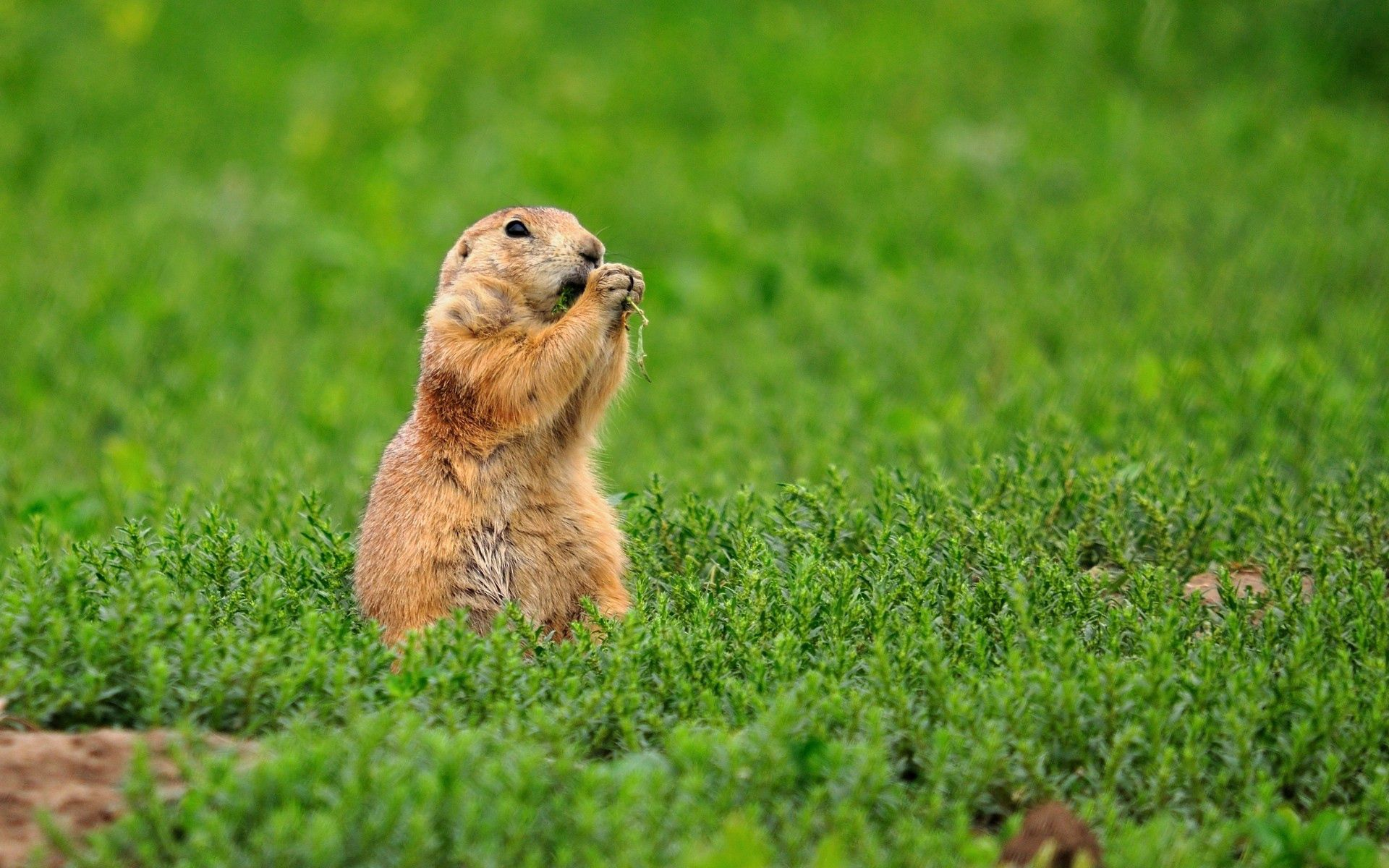 122772 download wallpaper Animals, Rodent, Gopher, Chipmunk, Grass screensavers and pictures for free