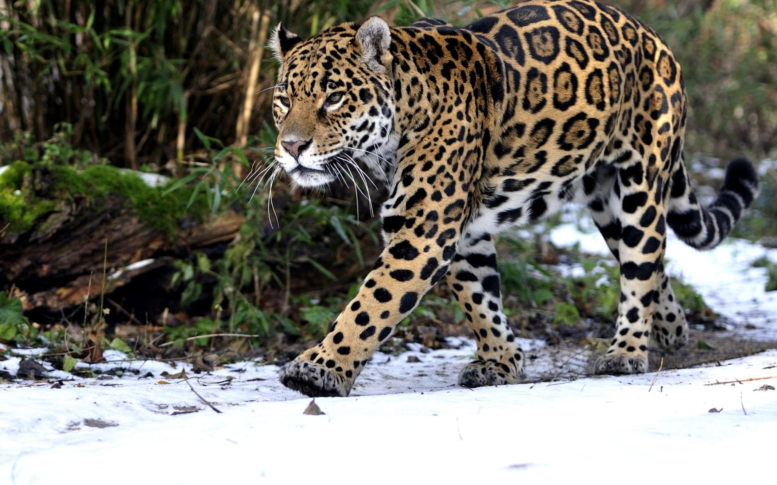 157561 download wallpaper Animals, Snow, Leopard, Predator, Stroll screensavers and pictures for free