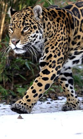 157561 download wallpaper Animals, Leopard, Snow, Stroll, Predator screensavers and pictures for free