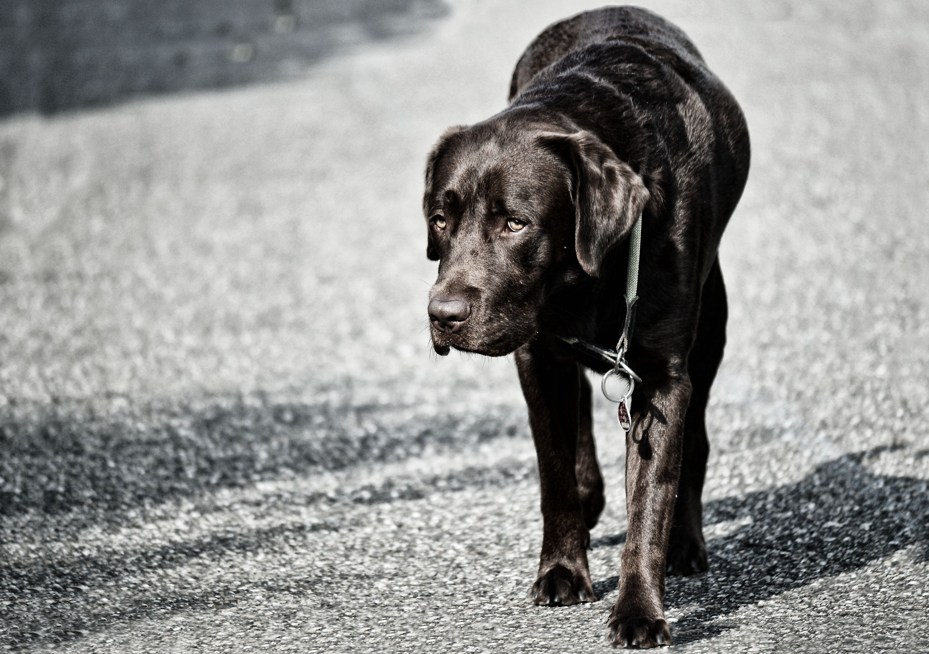 138415 download wallpaper Animals, Labrador, Dog, Stroll screensavers and pictures for free