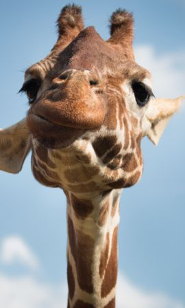 51929 download wallpaper Animals, Giraffe, Muzzle, Cool, Funny screensavers and pictures for free
