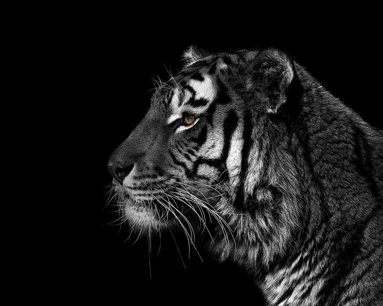 19722 download wallpaper Animals, Tigers screensavers and pictures for free