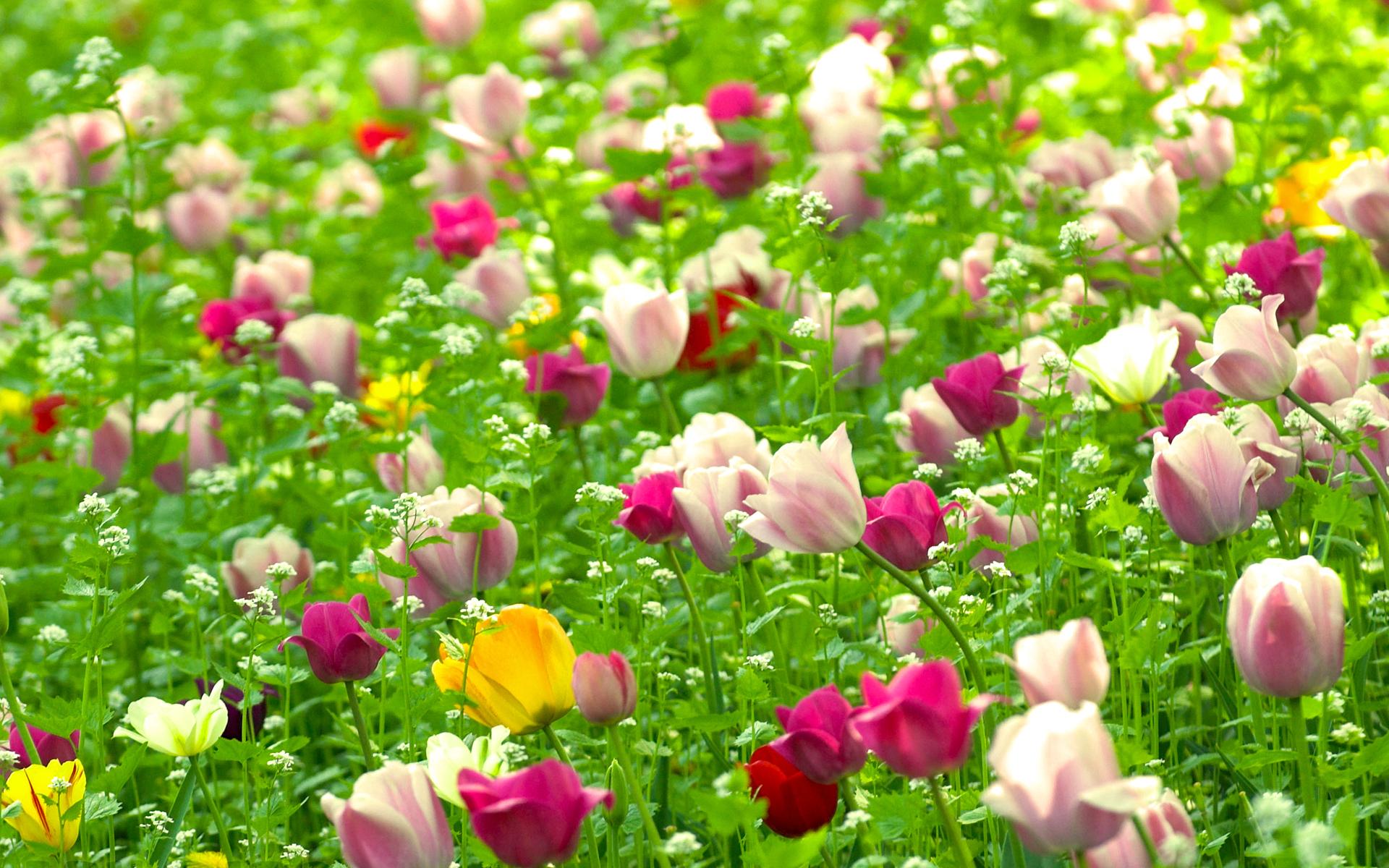 Handy-Wallpaper Pflanzen, Blumen, Tulpen kostenlos herunterladen.