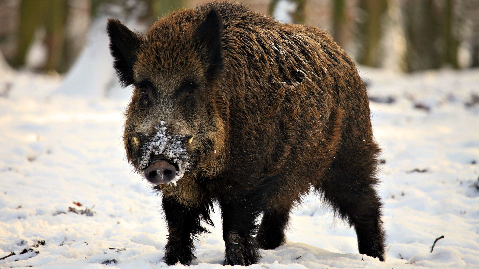141321 download wallpaper Animals, Boar, Muzzle, Snow, Stroll screensavers and pictures for free