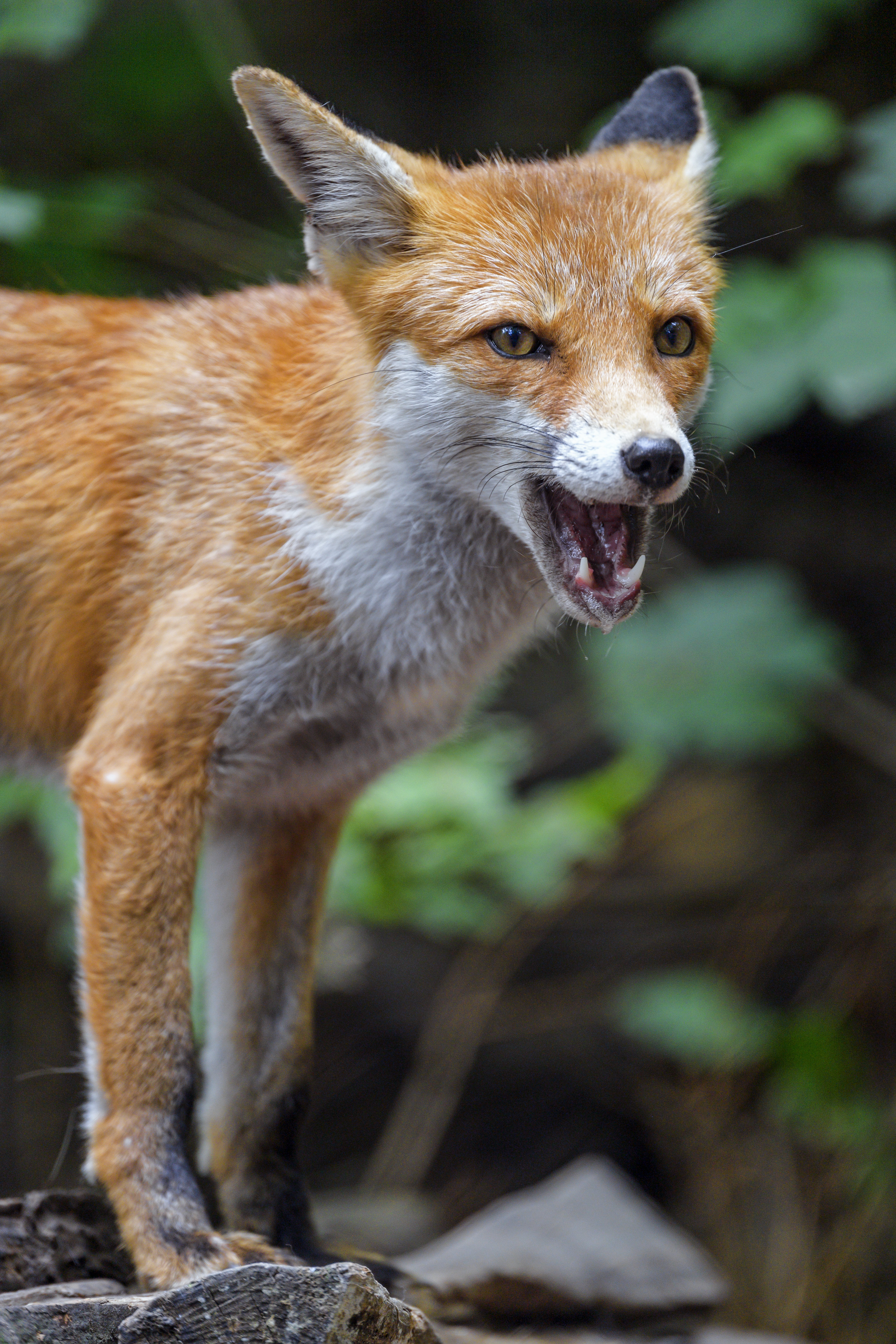 83565 download wallpaper Animals, Fox, Predator, To Fall, Mouth, Muzzle screensavers and pictures for free