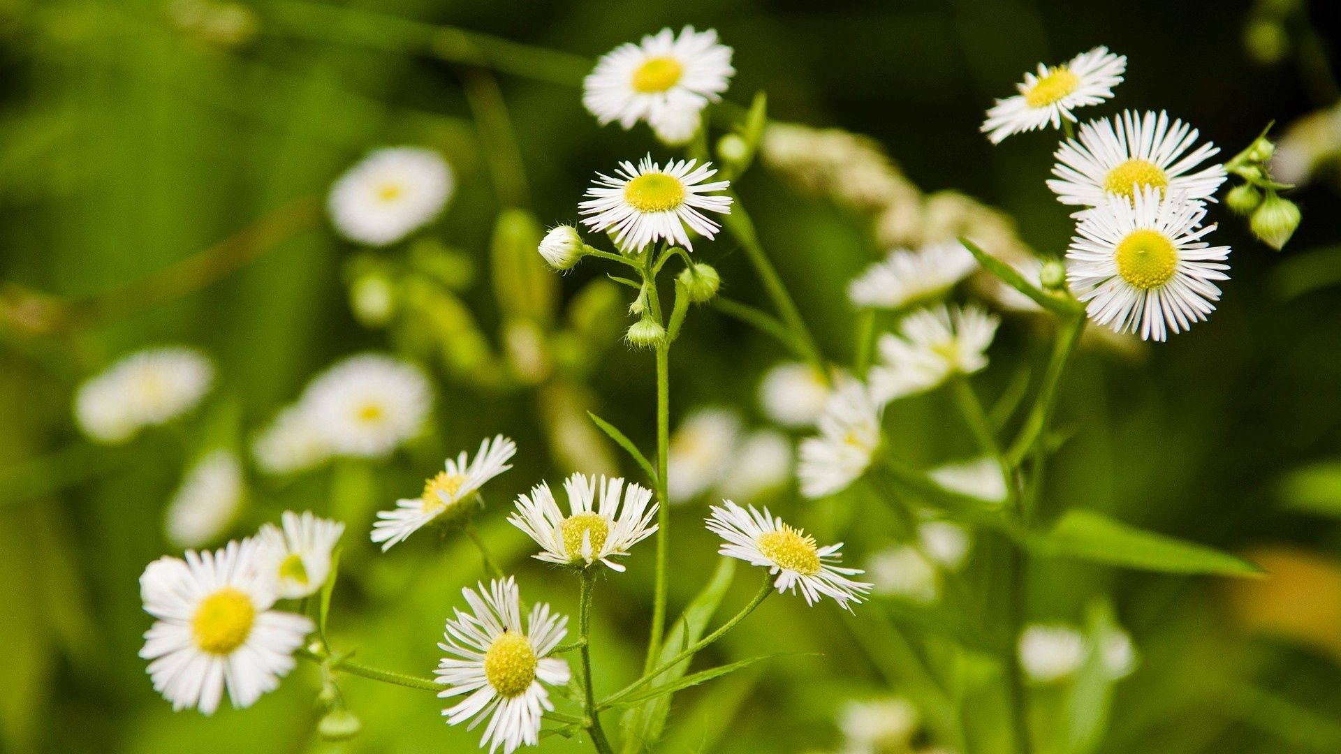 84509 download wallpaper Flowers, Camomile, Greens, Meadow, Blur, Smooth screensavers and pictures for free