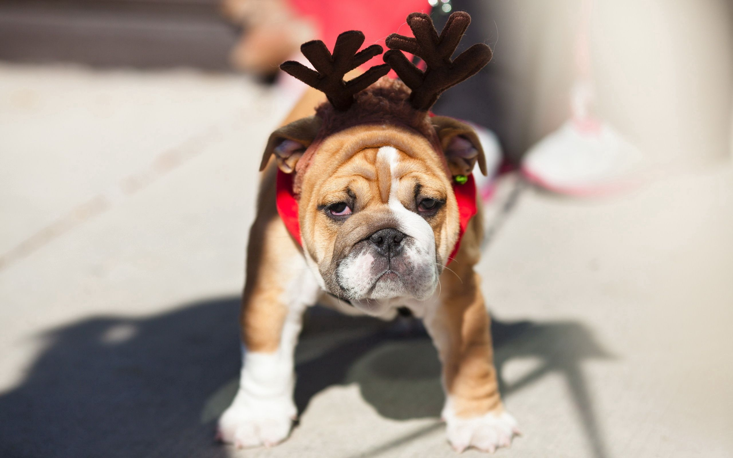 129965 download wallpaper Animals, Dog, Bulldog, Muzzle, Horns, Toy screensavers and pictures for free
