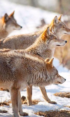49803 baixar papel de parede Animais, Lobos - protetores de tela e imagens gratuitamente
