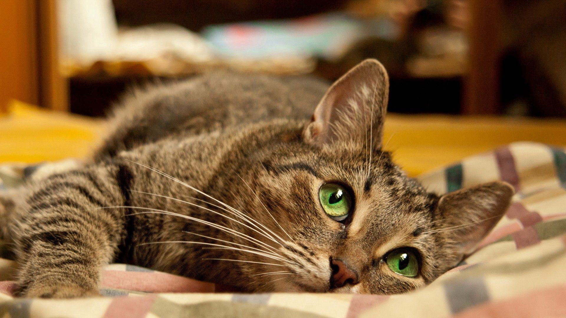 125178 download wallpaper Animals, Cat, Green Eyed, Green-Eyed, Muzzle, To Lie Down, Lie, Striped screensavers and pictures for free