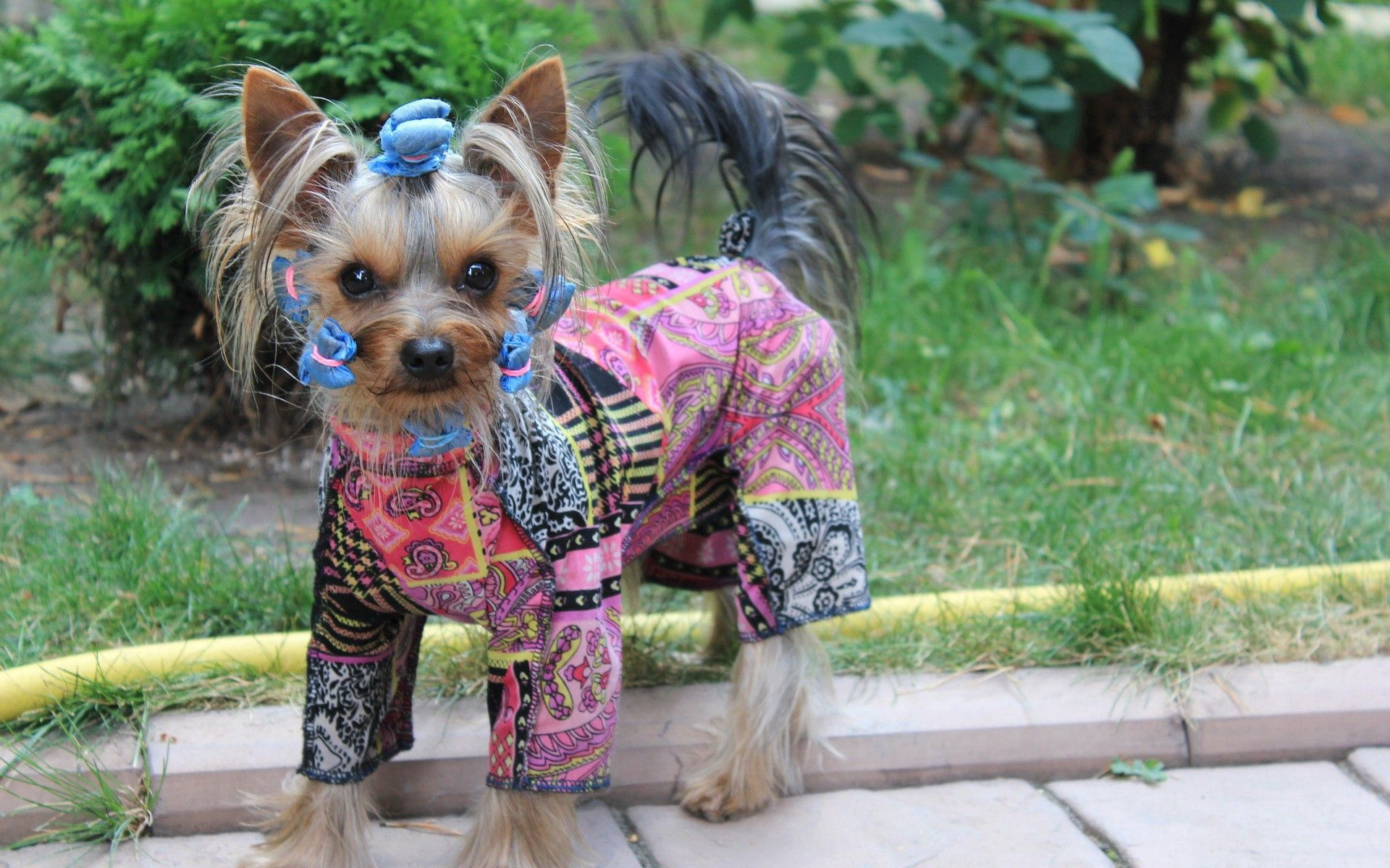 65290 download wallpaper Animals, Yorkshire Terrier, Costume, Dog, Puppy screensavers and pictures for free