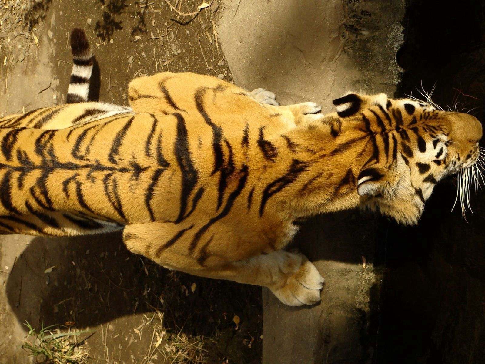 148044 download wallpaper Animals, Tiger, Striped, Crawl, Big Cat screensavers and pictures for free