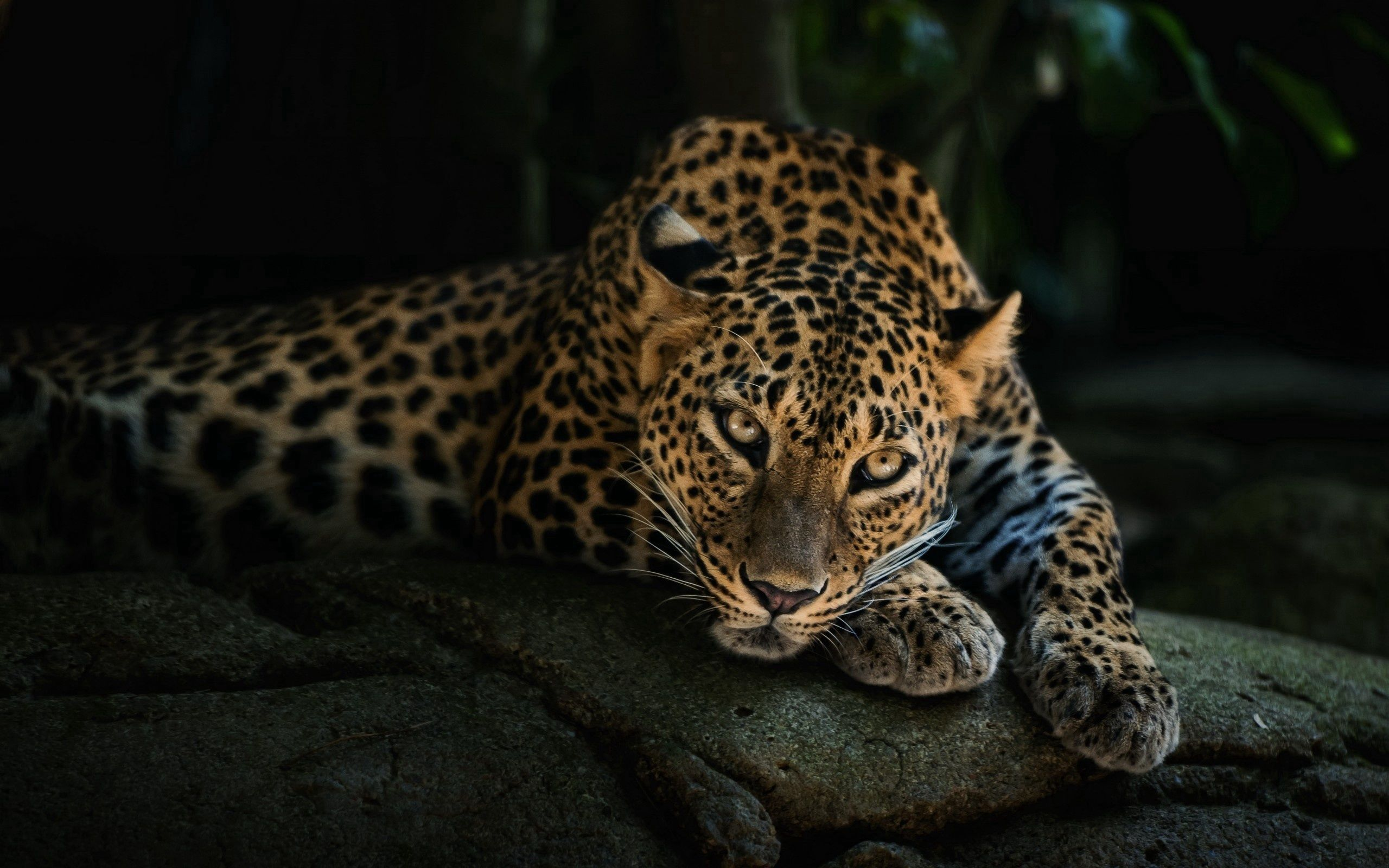 74677 download wallpaper Animals, Rock, Leopard, Predator, Relaxation, Rest, Stone, Sight, Opinion screensavers and pictures for free