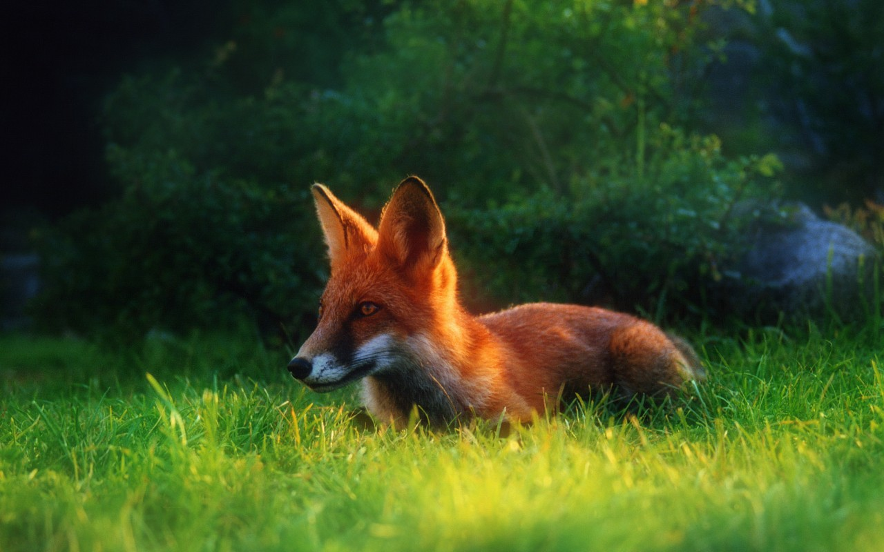 36380 download wallpaper Animals, Fox screensavers and pictures for free