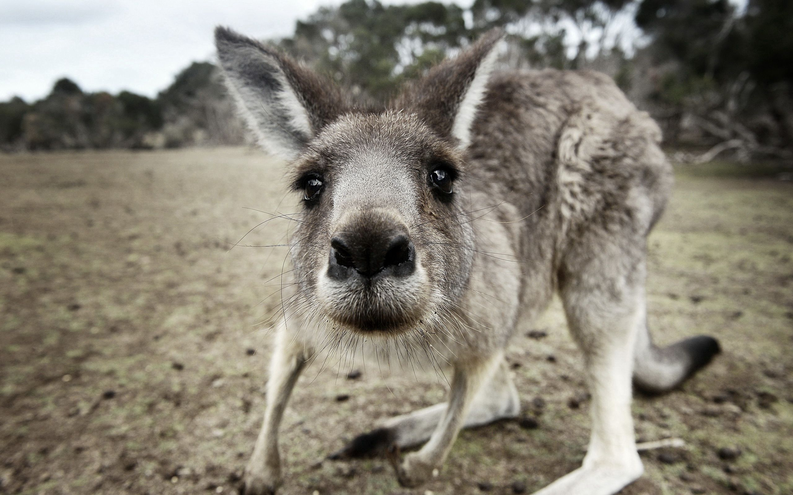96212 Screensavers and Wallpapers Nose for phone. Download Animals, Kangaroo, Cool, Nose, Surprise, Astonishment, Curious pictures for free