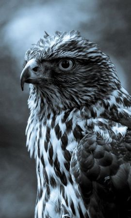 9414 download wallpaper Animals, Birds, Hawks screensavers and pictures for free