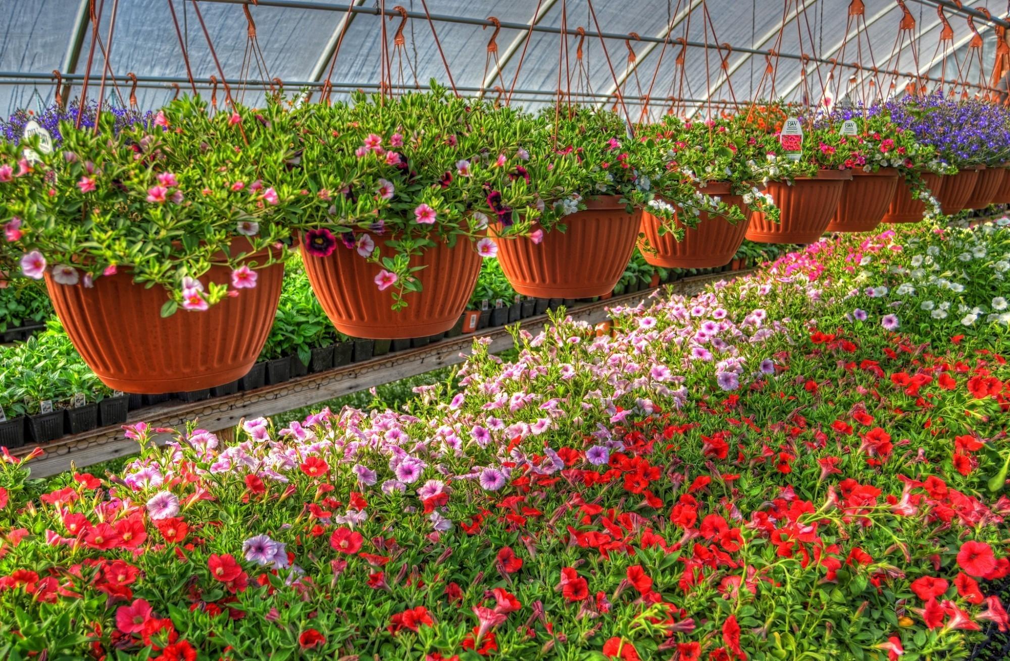 121335 descargar fondo de pantalla Flores, Lote, Mucho, Ollas, Maceta De Plantas, Petunia, Invernadero, Calichobria, Calihobroya: protectores de pantalla e imágenes gratis