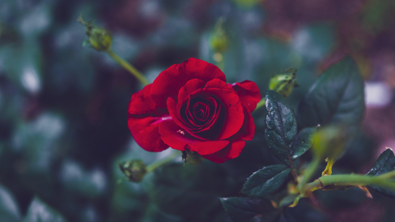 60129 скачать обои Цветы, Роза, Лепестки, Бутон, Красный, Размытость, Сад - заставки и картинки бесплатно