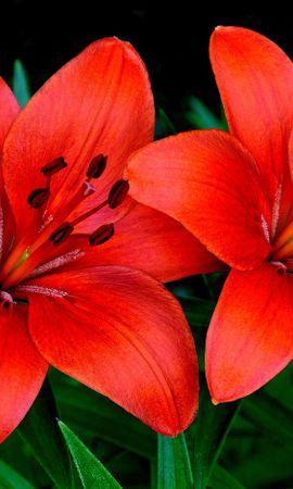 127544 скачать обои Цветы, Лилии, Пара, Лепестки - заставки и картинки бесплатно