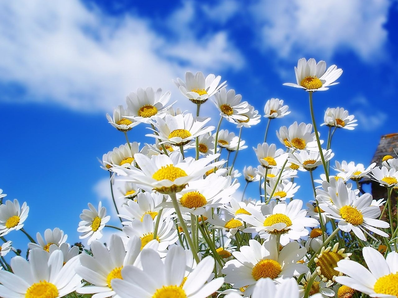 26118 download wallpaper Plants, Flowers, Sky, Camomile screensavers and pictures for free