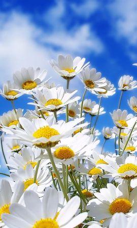 26118 скачать обои Растения, Цветы, Небо, Ромашки - заставки и картинки бесплатно
