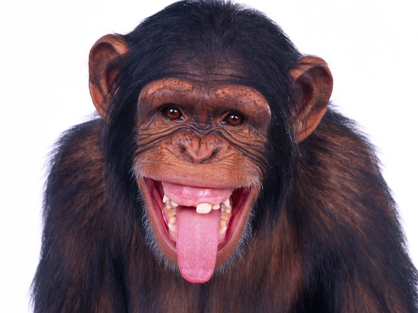 23127 Screensavers and Wallpapers Monkeys for phone. Download Animals, Monkeys pictures for free