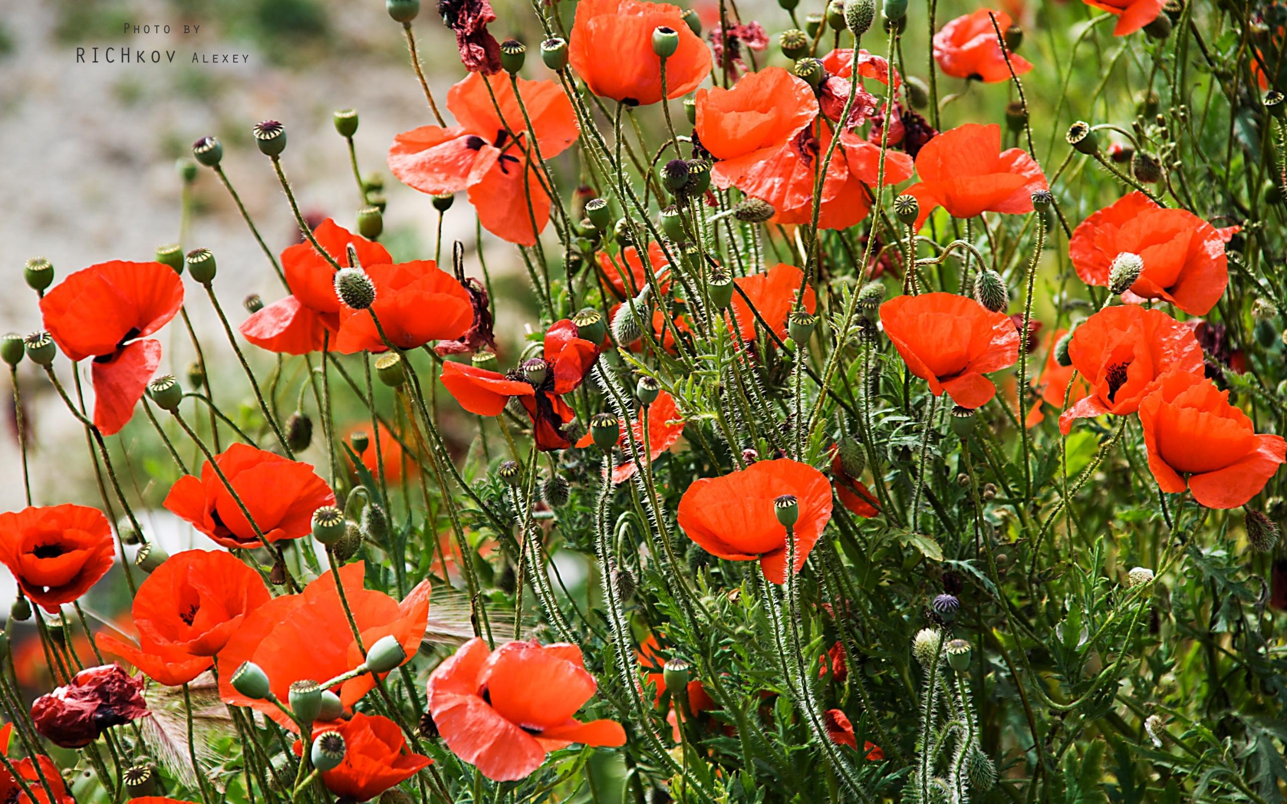 1190 скачать обои Растения, Цветы, Маки - заставки и картинки бесплатно
