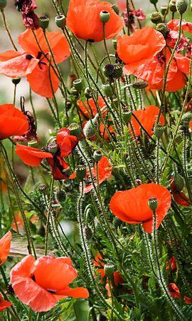 1190 descargar fondo de pantalla Plantas, Flores, Amapolas: protectores de pantalla e imágenes gratis