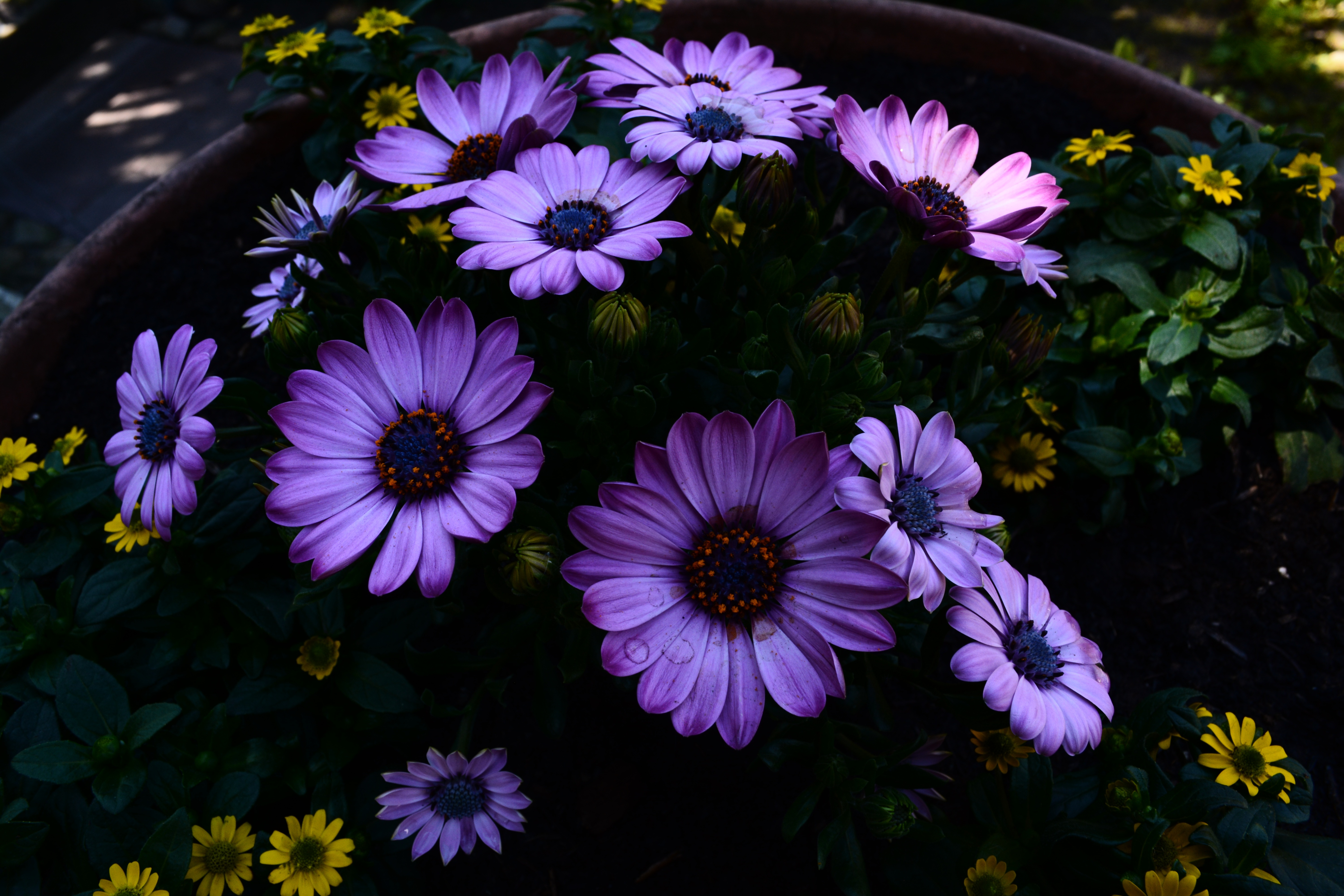 75536 Screensavers and Wallpapers Flower Bed for phone. Download Flowers, Flower Bed, Flowering, Flowerbed, Blooming, Osteospermum pictures for free