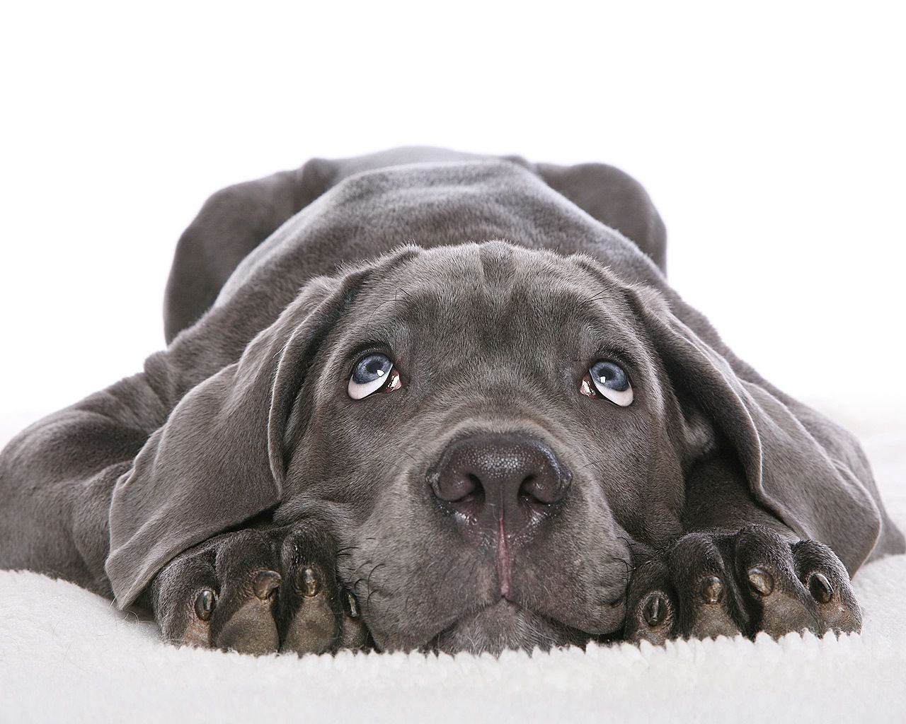 60685 download wallpaper Animals, Dog, Dark, Grey, Muzzle, Nice, Sweetheart screensavers and pictures for free