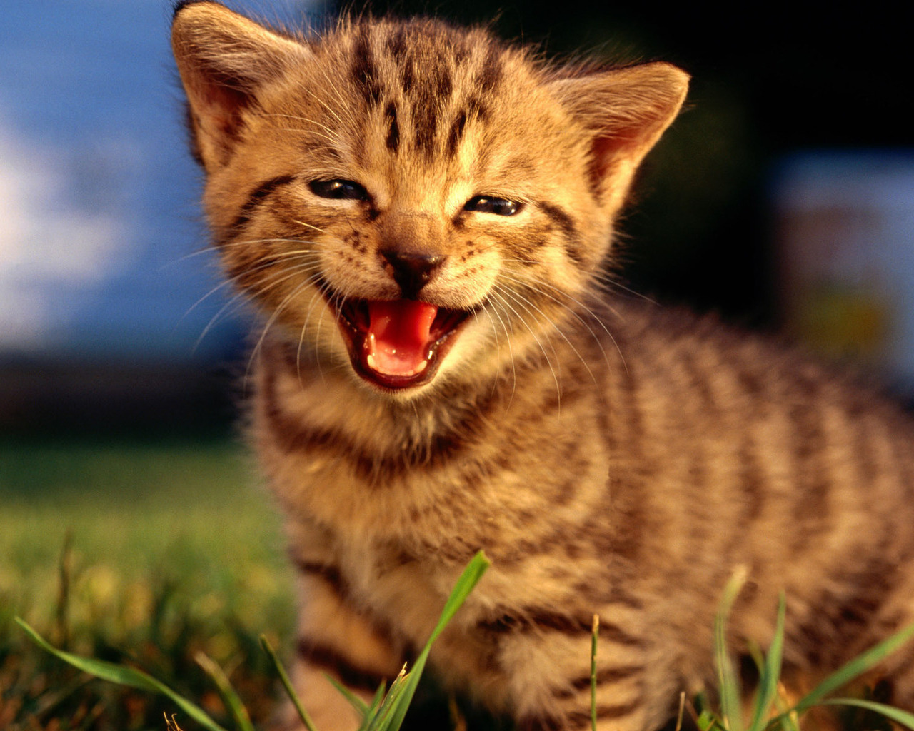 15044 download wallpaper Animals, Cats screensavers and pictures for free