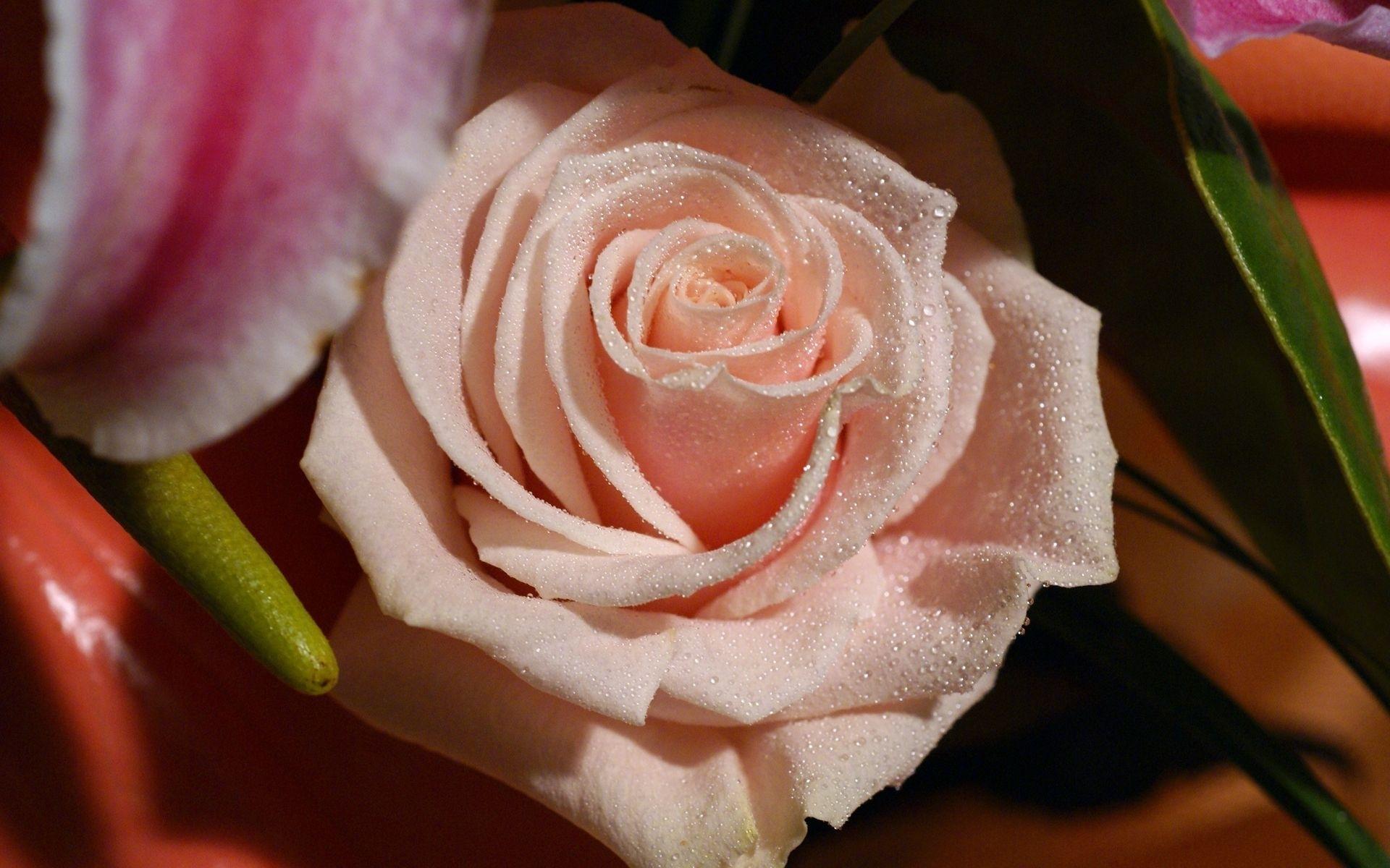 47047 скачать обои Растения, Цветы, Розы - заставки и картинки бесплатно