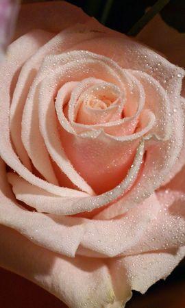 47047 descargar fondo de pantalla Plantas, Flores, Roses: protectores de pantalla e imágenes gratis