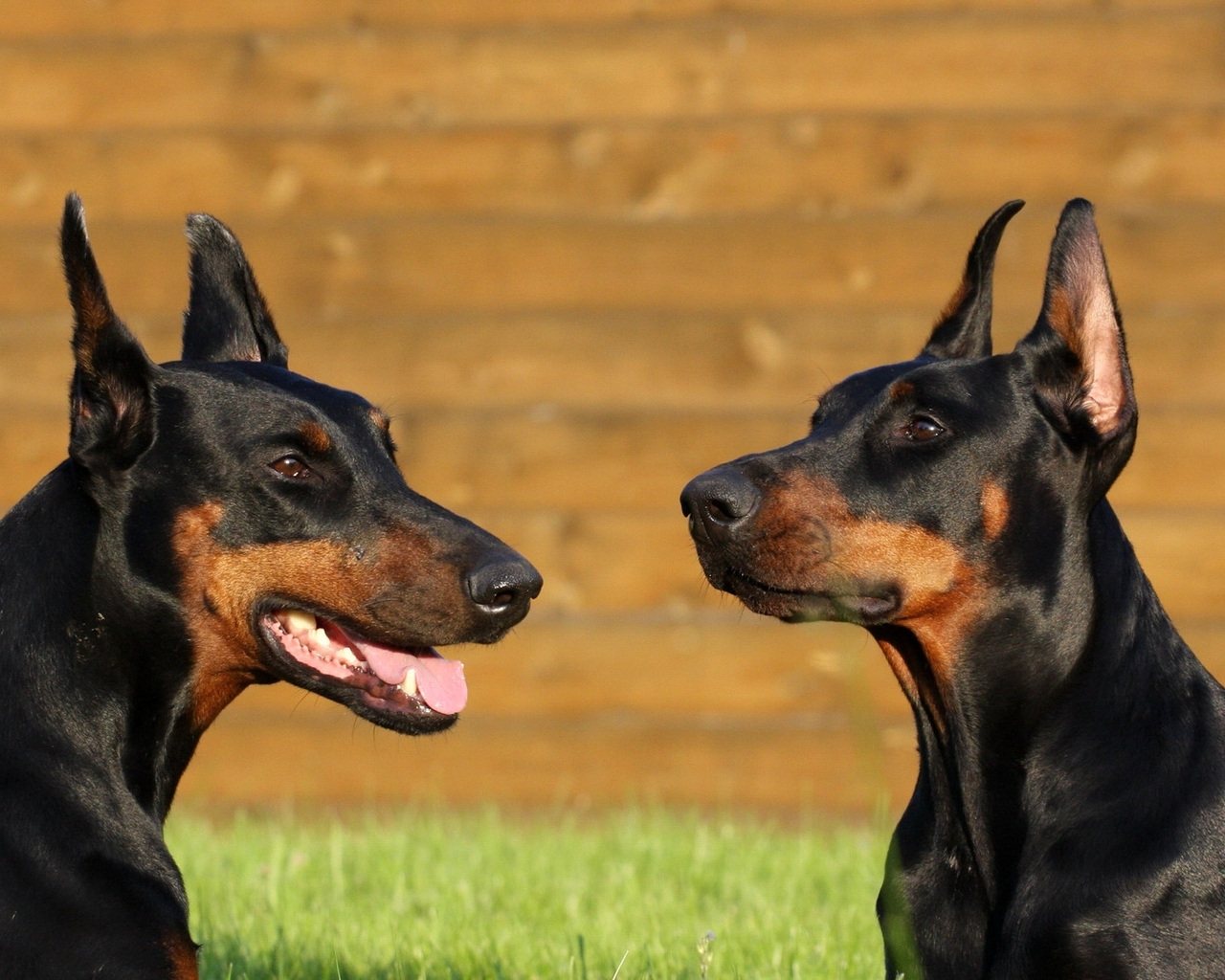 5097 download wallpaper Animals, Dogs screensavers and pictures for free
