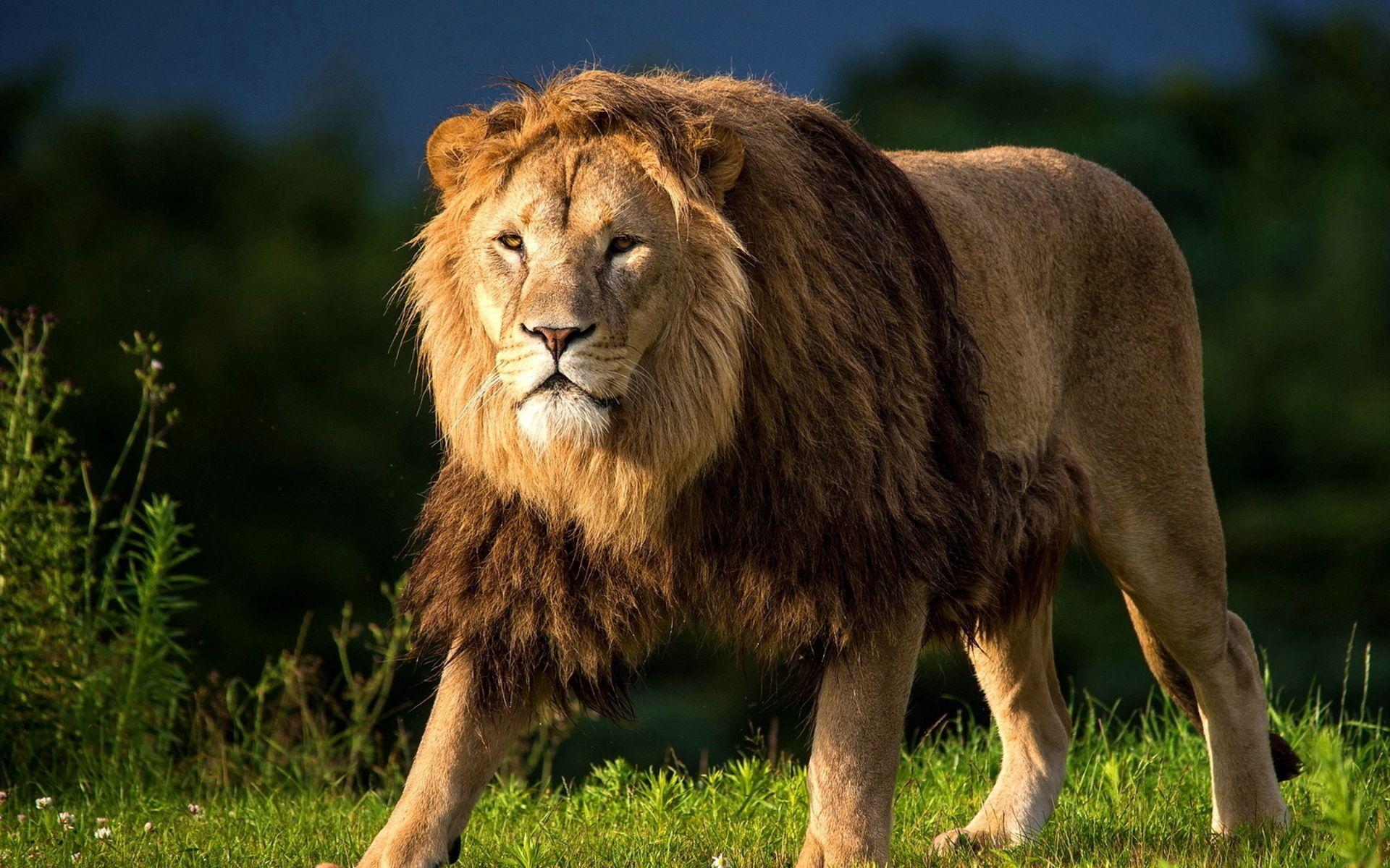 106991 Protetores de tela e papéis de parede Rei Das Feras em seu telefone. Baixe Animais, Grama, Leão, Um Leão, Gato Grande, Passeio, Passear, Rei Das Feras, Rei Das Bestas fotos gratuitamente