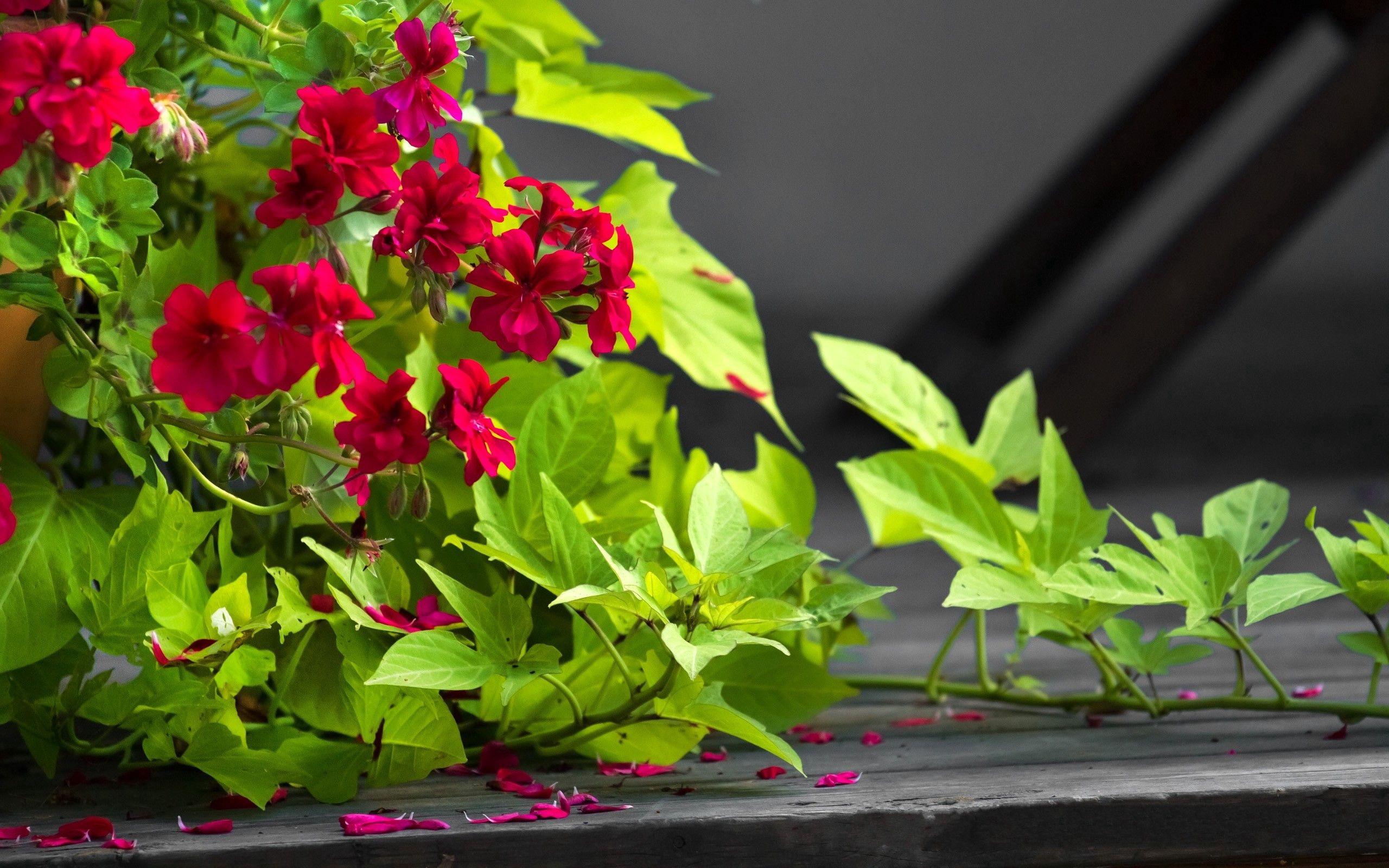 52446 Hintergrundbild herunterladen Blumen, Blätter, Bindweed, Blütenblätter, Töpfe, Pflanzentopf - Bildschirmschoner und Bilder kostenlos