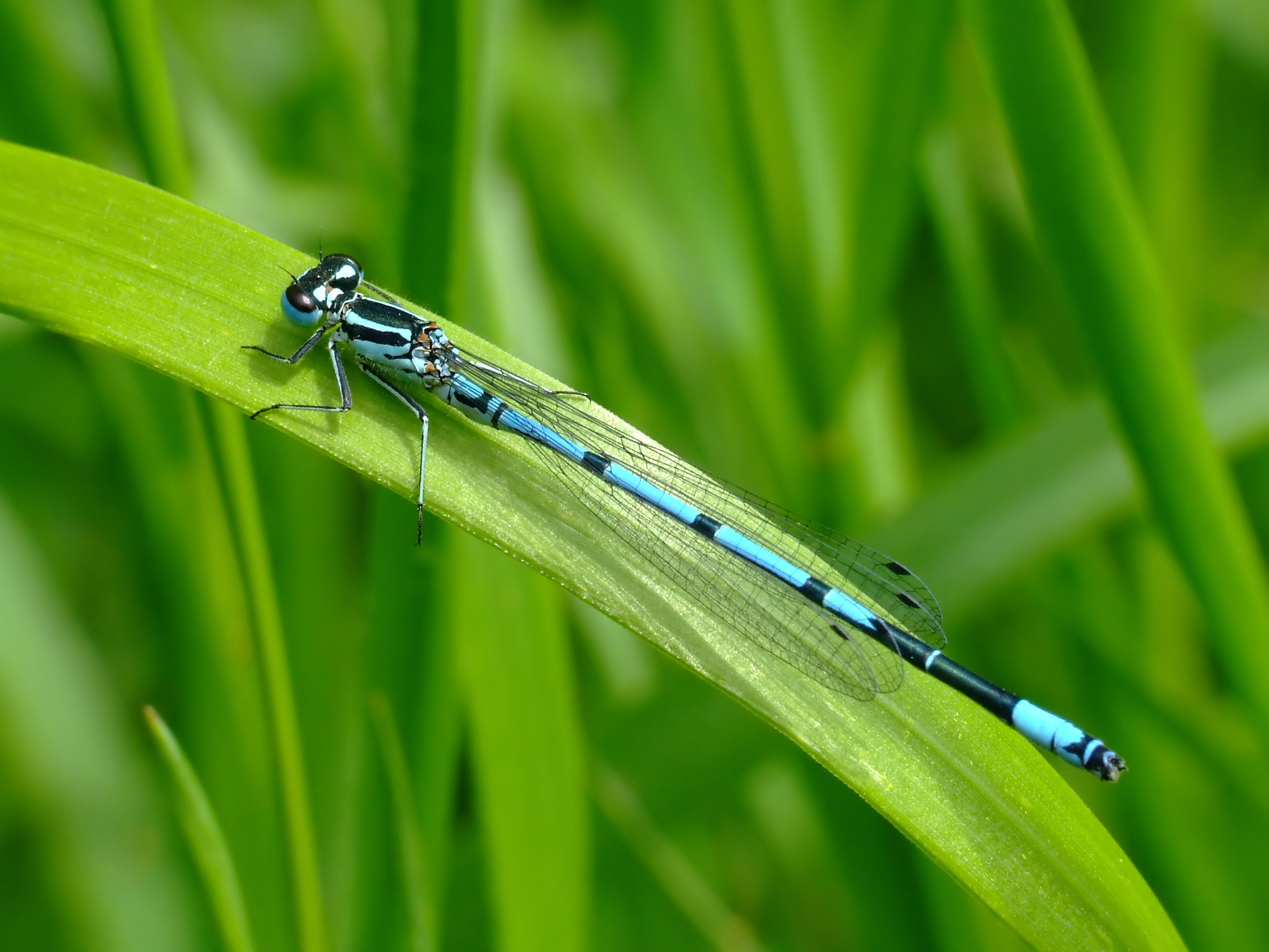 127568 download wallpaper Macro, Dragonfly, Blade Of Grass, Blade, Green Background screensavers and pictures for free