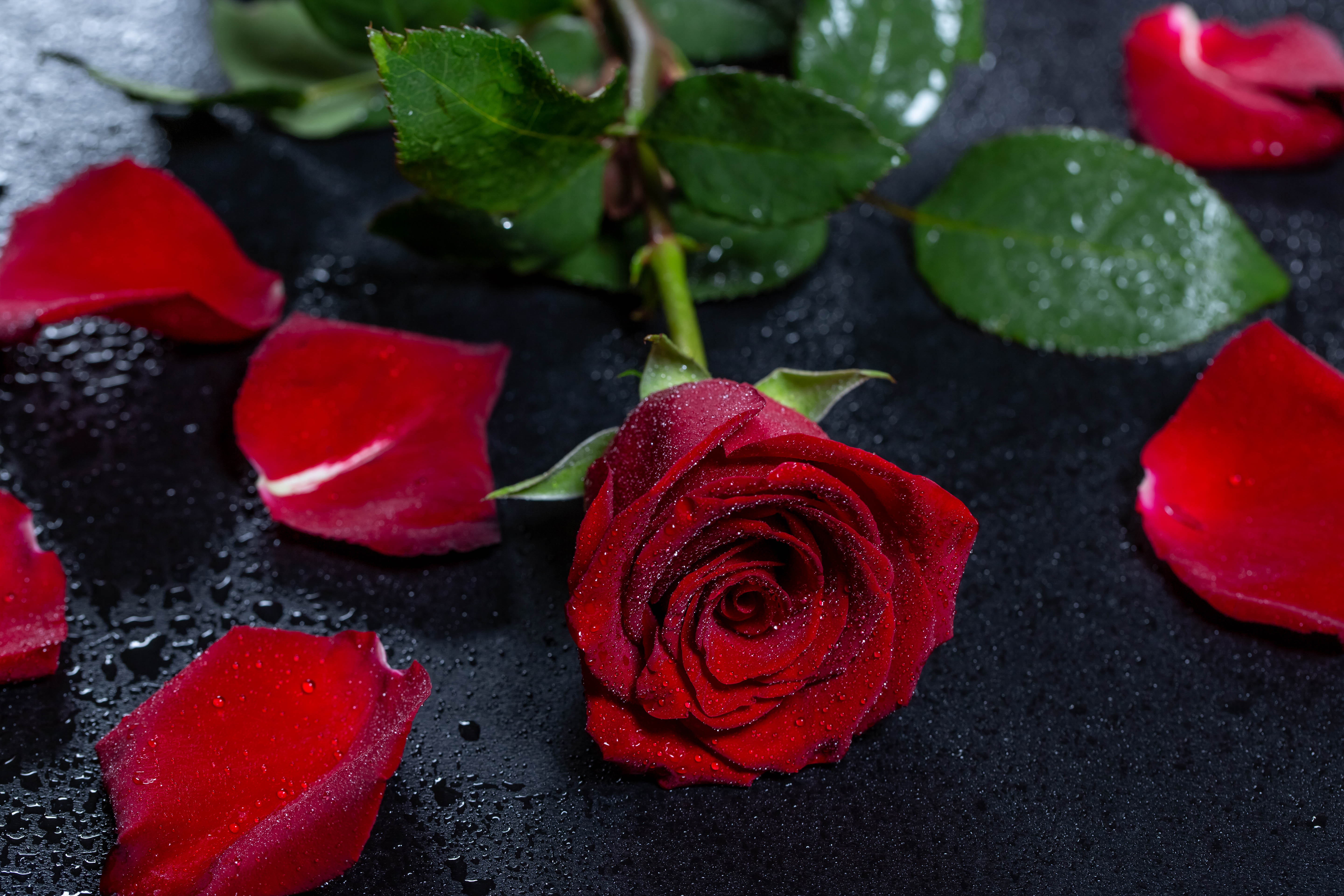151745 download wallpaper Flowers, Drops, Flower, Rose Flower, Rose, Petals, Wet, Surface screensavers and pictures for free