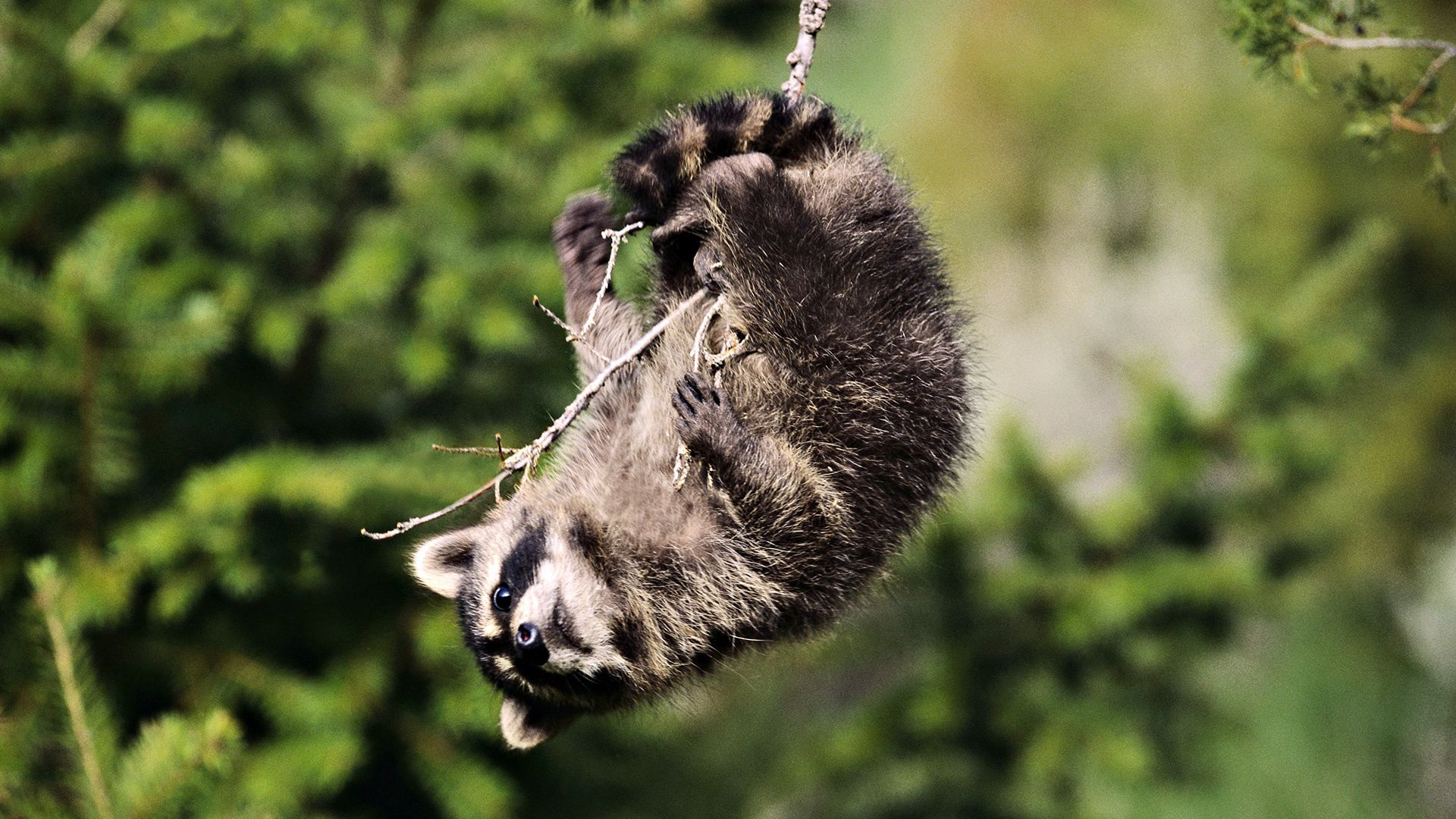 156153 Screensavers and Wallpapers Raccoon for phone. Download Animals, Branches, Playful, Raccoon pictures for free