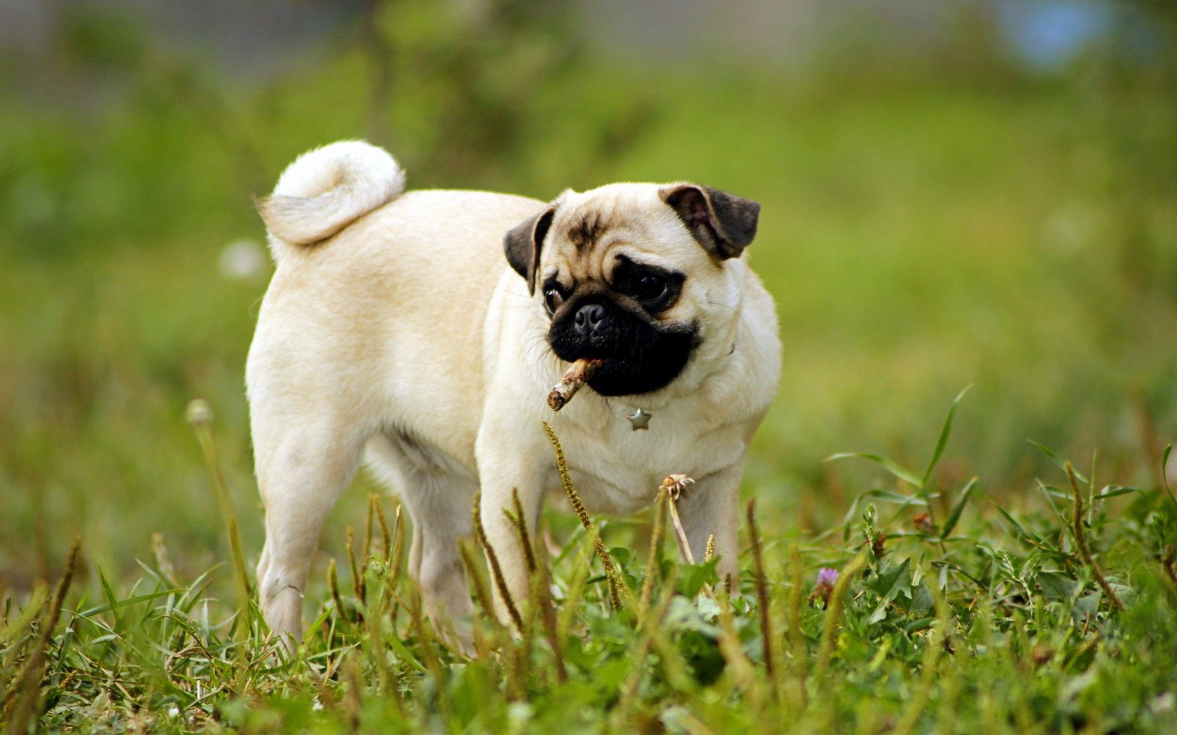 112871 download wallpaper Animals, Pug, Dog, Puppy, Grass, Greens screensavers and pictures for free