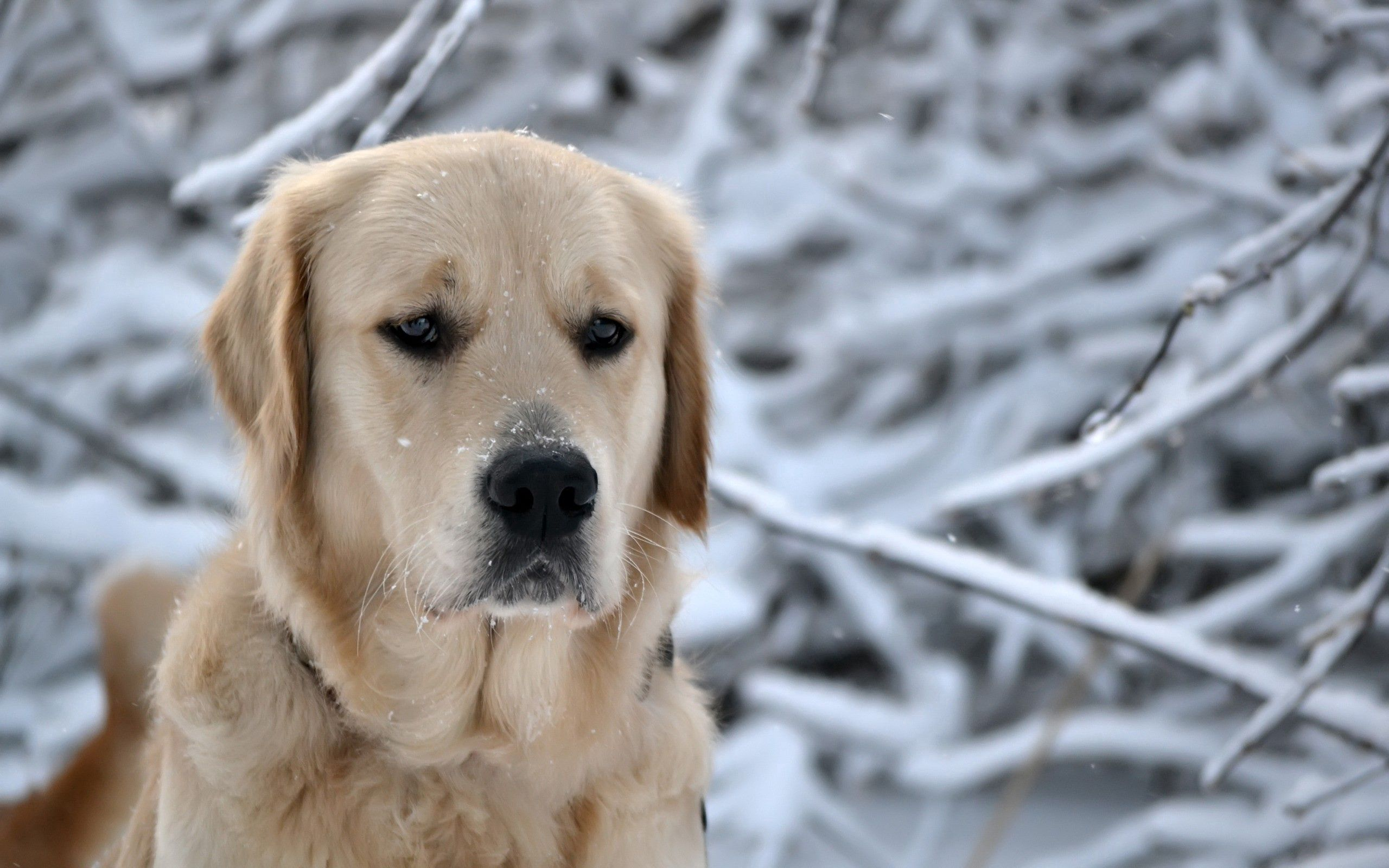 142047 download wallpaper Animals, Dog, Muzzle, Snow, Sadness, Sorrow, Labrador screensavers and pictures for free