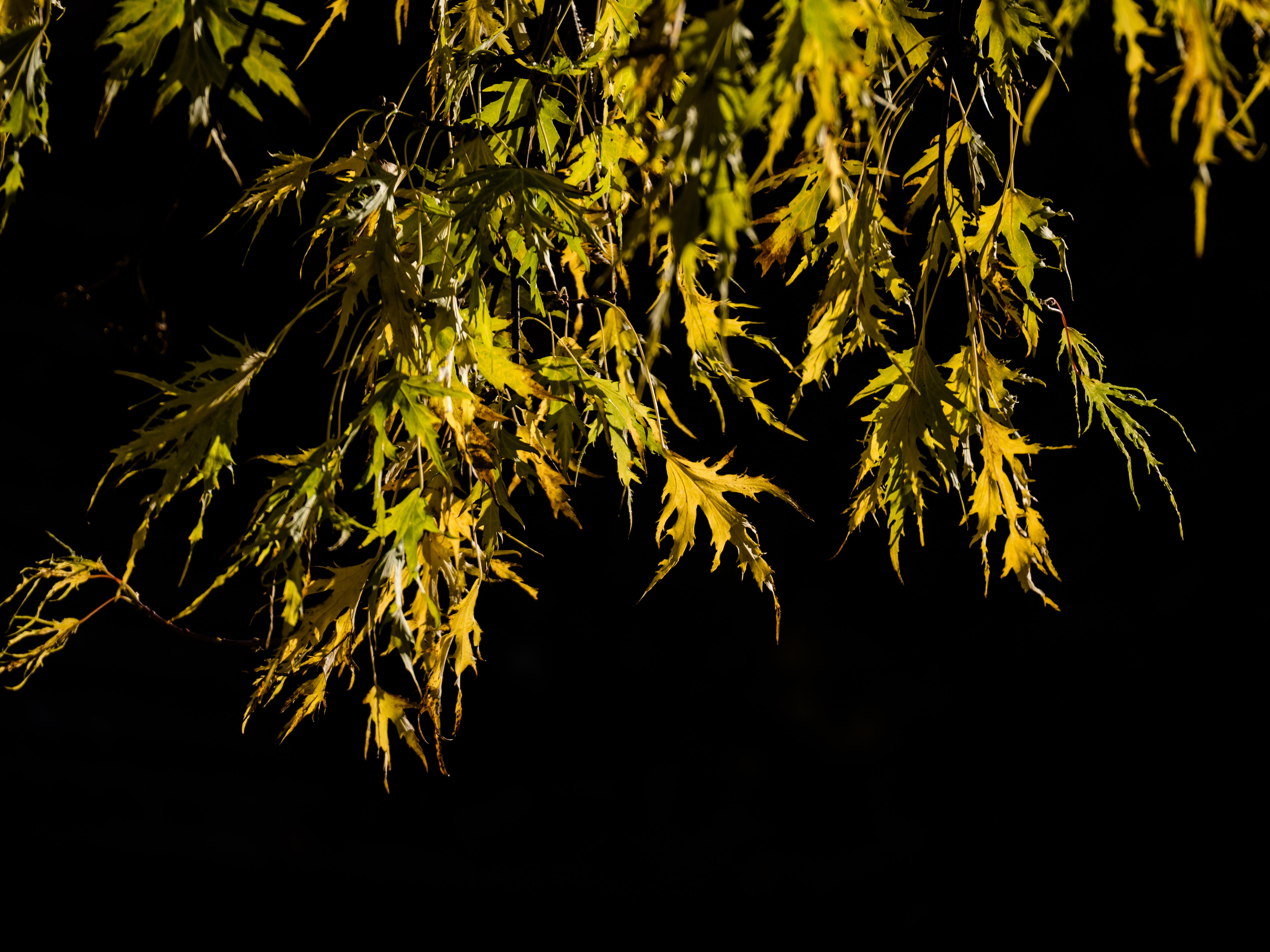145661 download wallpaper Nature, Branches, Leaves, Black Background screensavers and pictures for free