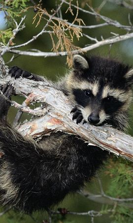 6948 download wallpaper Animals, Raccoons screensavers and pictures for free